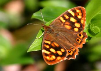 Maculada de Canarias butterfly, Pararge xiphioides at  Cubo de la Galga, Puntallana