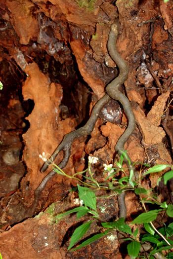 Tree roots inthe ravine walls at Cubo de la Galga, Puntallana