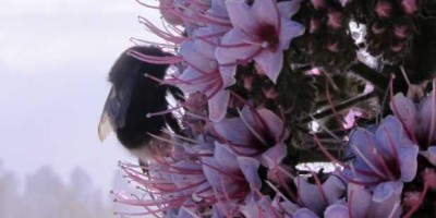 A bumblebee on a tower of jewels (Echium wildpretii). Roque de Los Muchachos