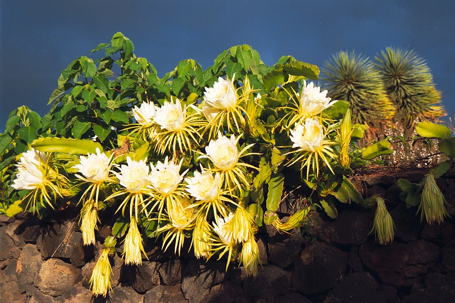 Hylocereus - Queen of the night cactus, early in the morning before the flowers closed. Breña Alta