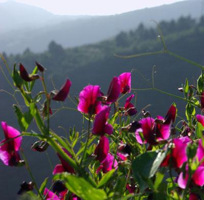 Wild peas, Pisum sativum in Breña Alta
