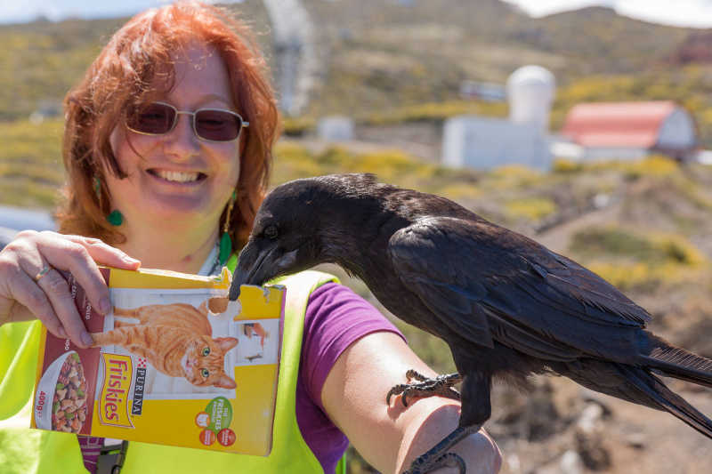 Sheila Crosby with a  raven on her arm, eating cat biscuits. Roque de Los Muchachos. Photo: Kai Petersen