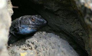 Male Palmeran wall lizard, Gallotia galloti palmae