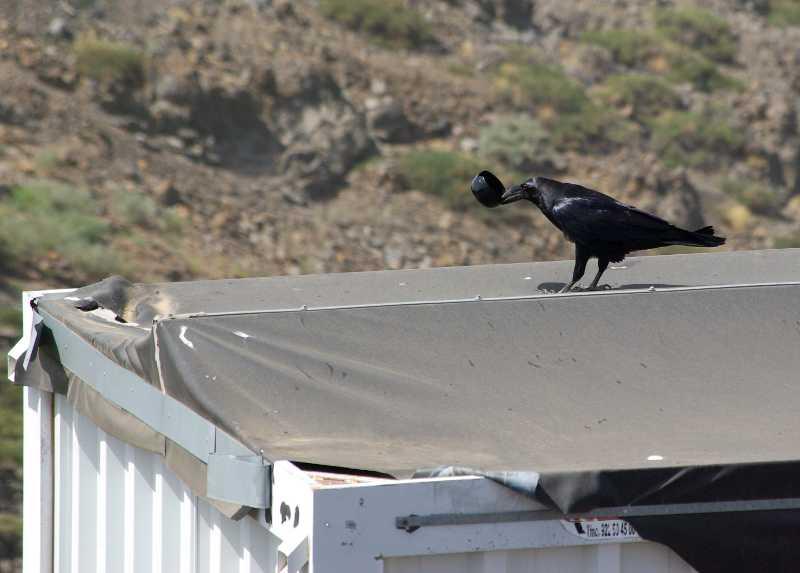 The raven with the stolen pot, Roque de Los Muchachos, La Palma