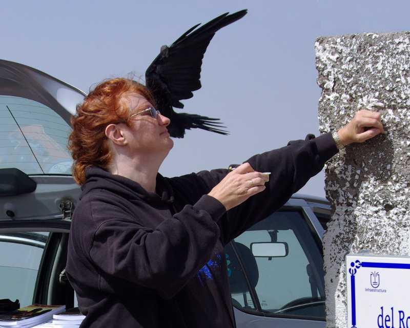 Sheila Crosby feeding cat food to a raven at the Roque de Los Muchachos, La Palma