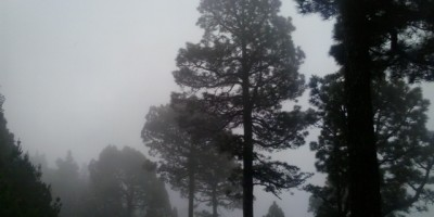 Canary pine trees looking atmospheric in the mist , La Palma , Canary Islands