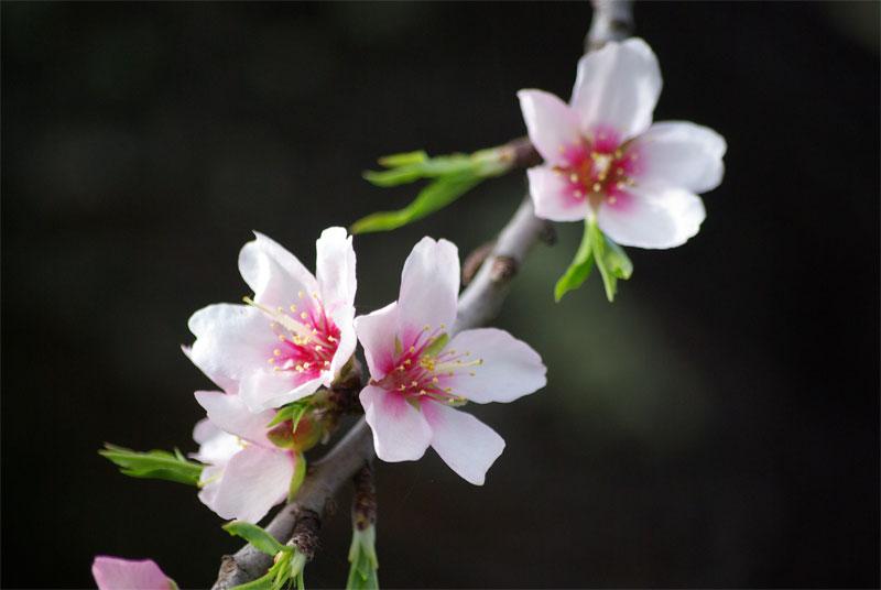 A sprig of almond blossom, Garafia, La Palma island