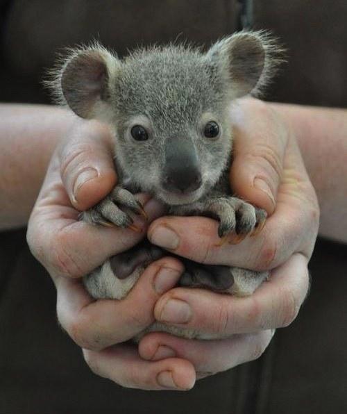 koalaInHands