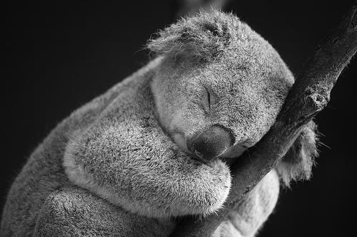 sleepy-koala