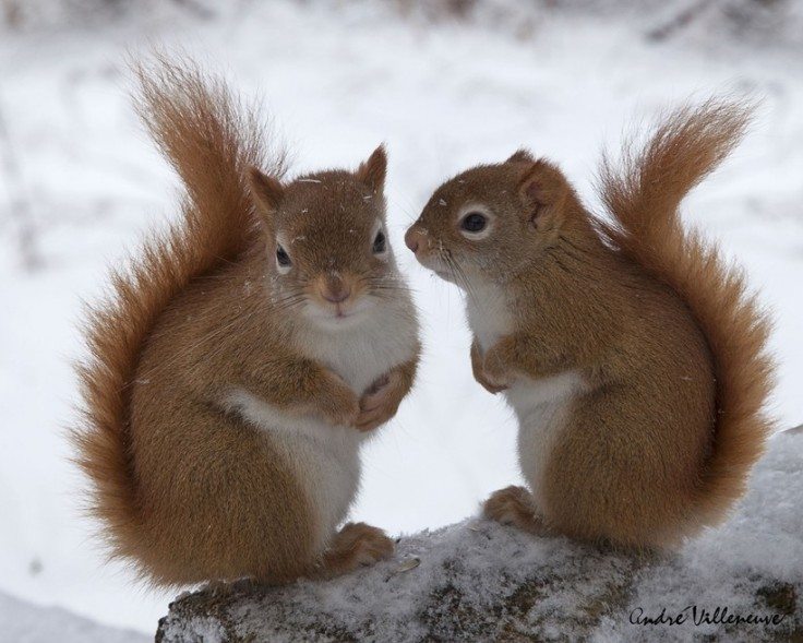 squirrels-nice-tail-know-snow-squirrels-rodent-wildlife-cute-tailyou-gallery-736x589