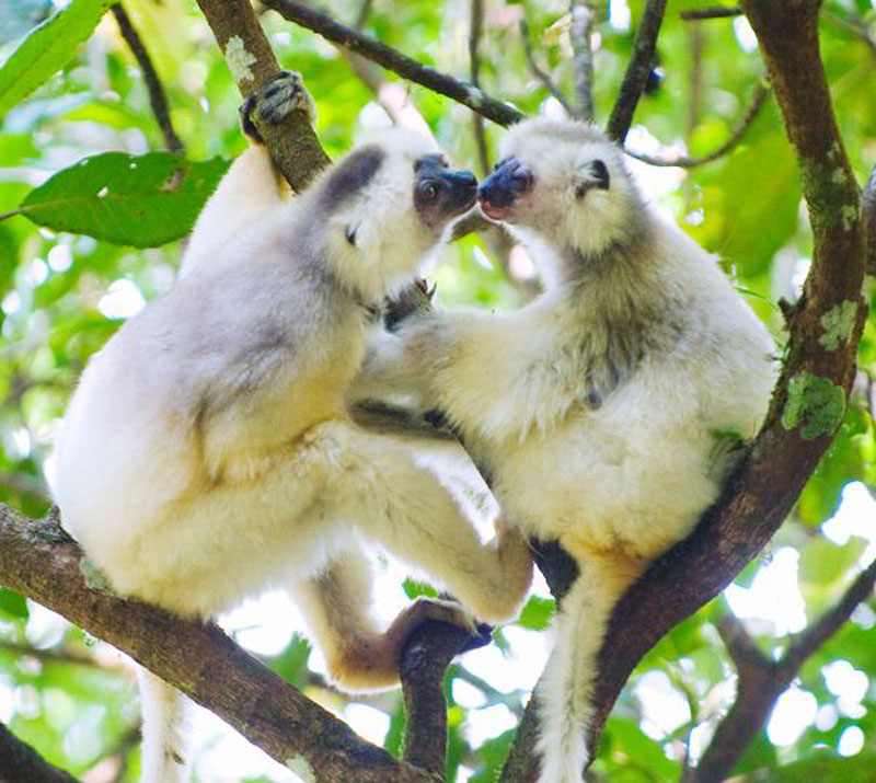 Two silky sifakas