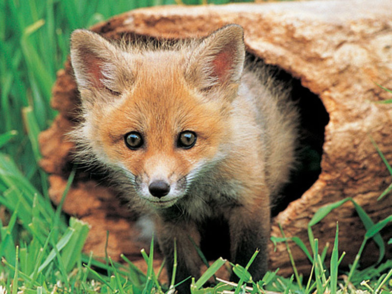 An English fox peeking out of a hollow log