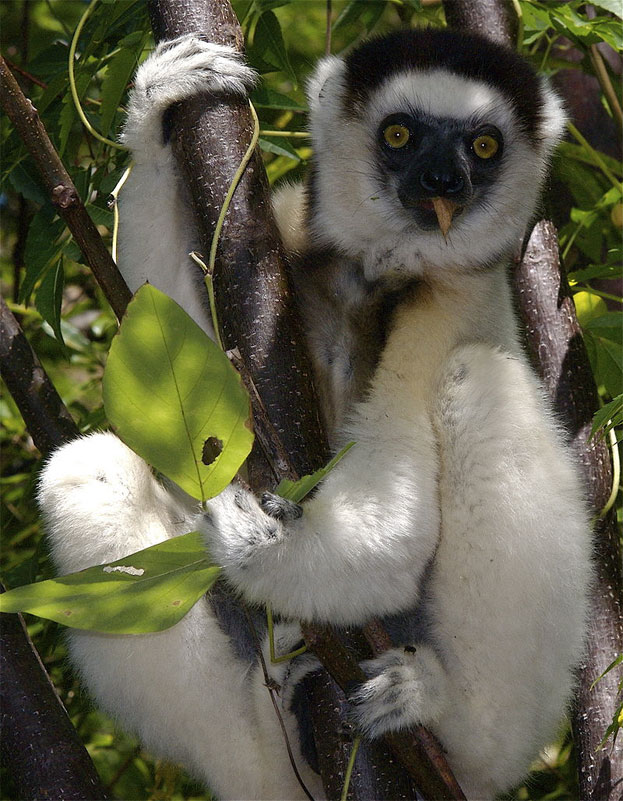 Verreaux's Sifaka By Jeff Gibbs - email & Flickr, CC BY-SA 3.0, https://commons.wikimedia.org/w/index.php?curid=9871661