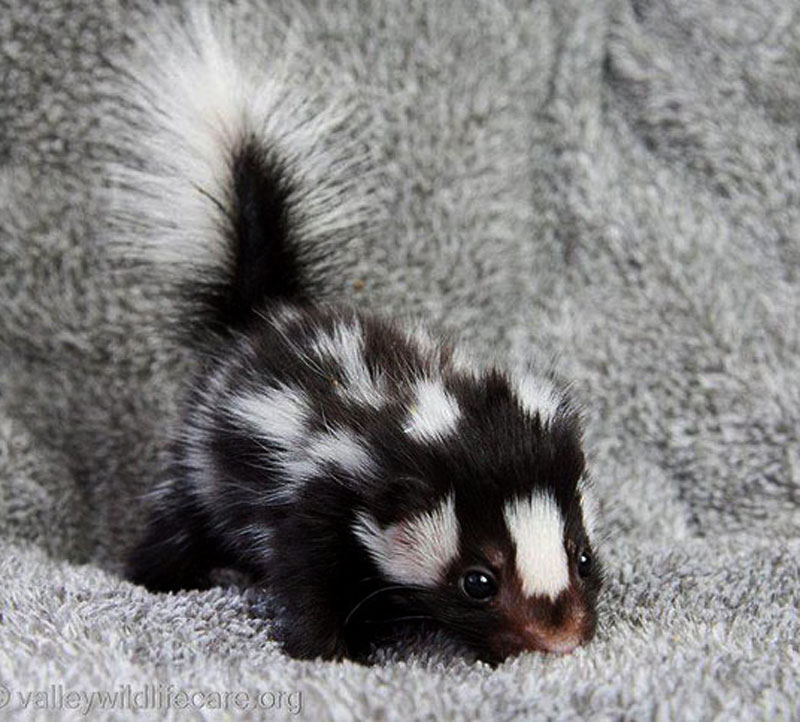 Baby Skunk with floofy tail