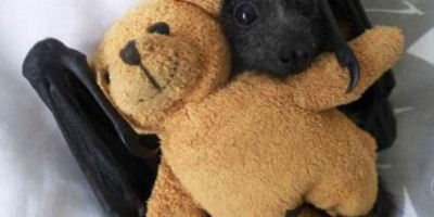 Baby bat ith its teddy bear.
