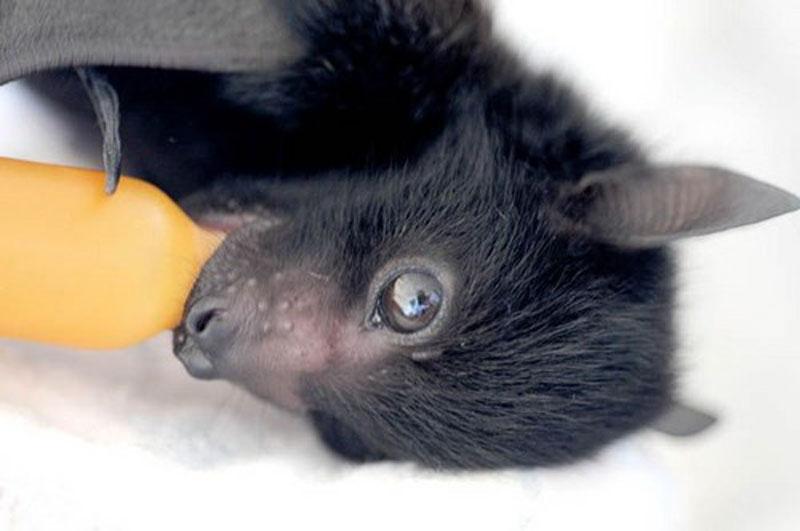 Baby bat drinking milk from a bottle.