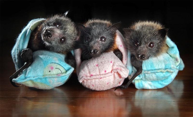 baby bats, swaddled.