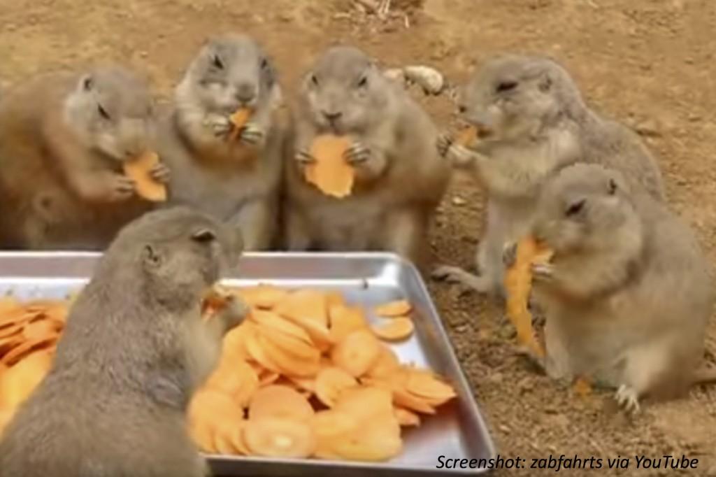 Prairie dogs eating carrots