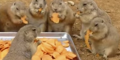 Prairie dogs eating carrots