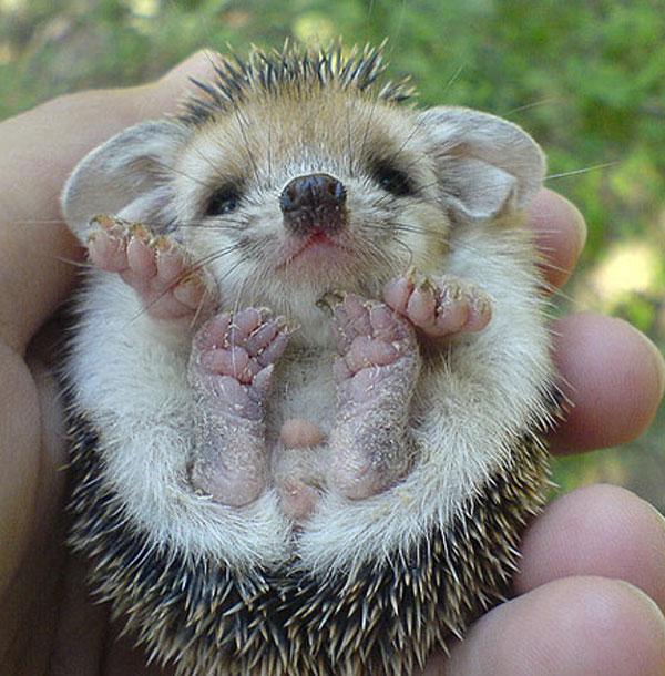 hedgebaby