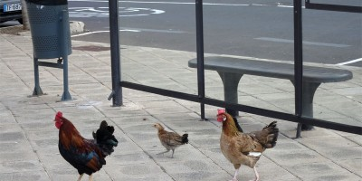 A family of chickens beside a bus stop in Santa Cruz
