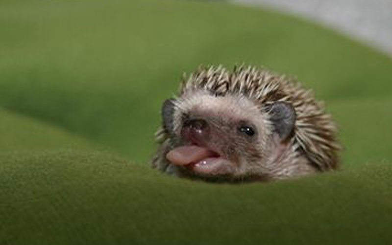 hedgetongue