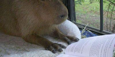 readingcapybara