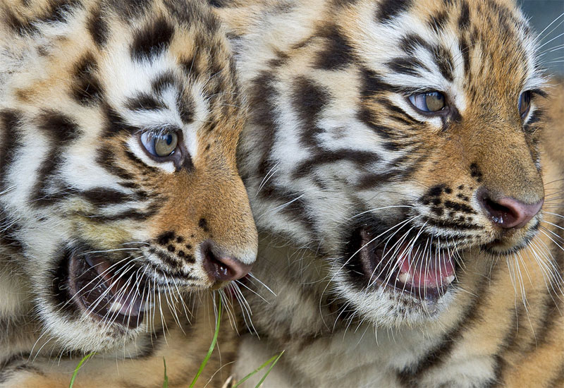 Twin tiger cubs