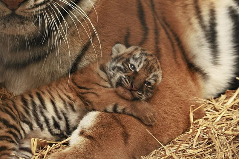 Tiger Cub with Mum
