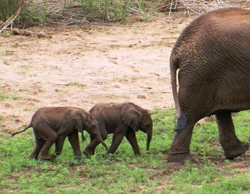 elephanttwins