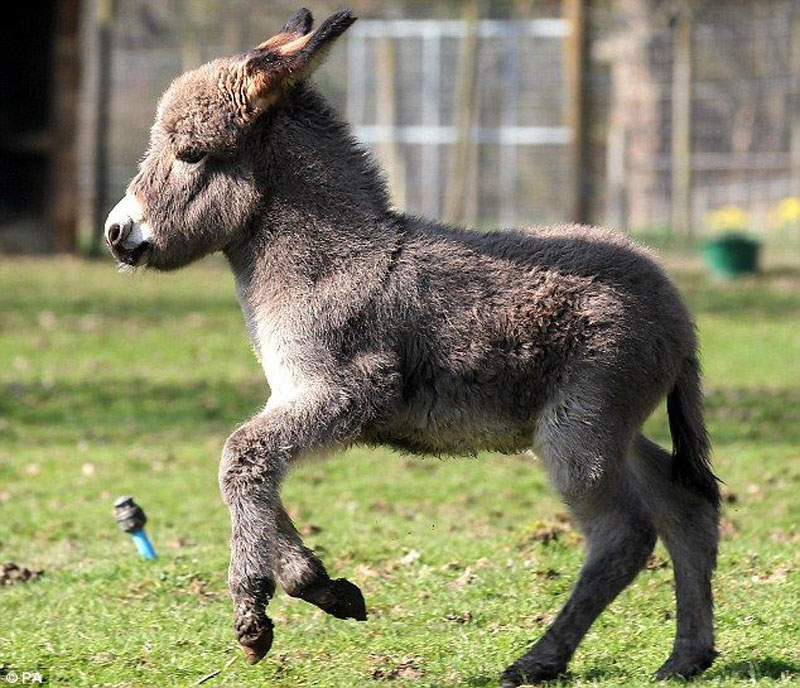 Donky foal