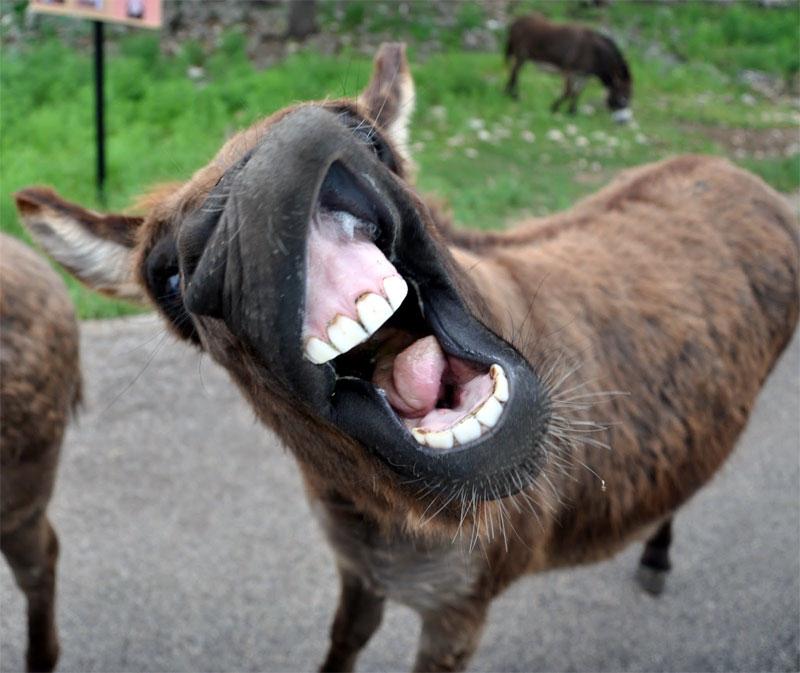 DonkeyTeeth4