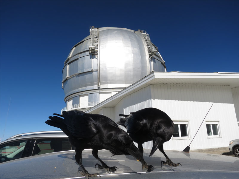 Ravens on the roof of my car outside Gran Telescopio Canarias, -Roque de Los Muchacos, Garafia