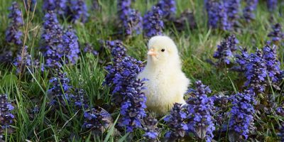 chickFlowers