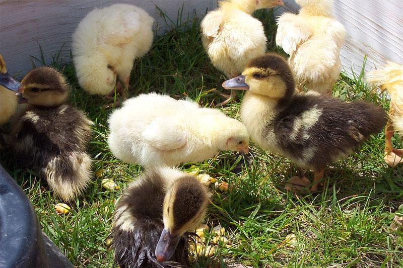 chickLots