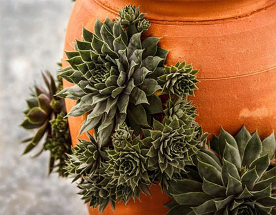 A plant called hen and chicks growing on a terracotta pot