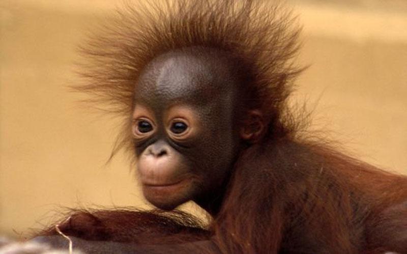 Orangutang1
