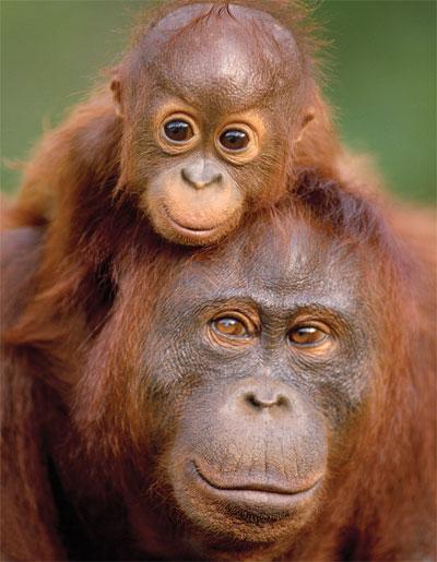 Orangutang2