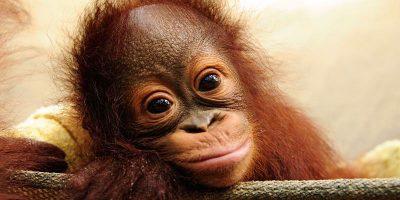 Orangutang4