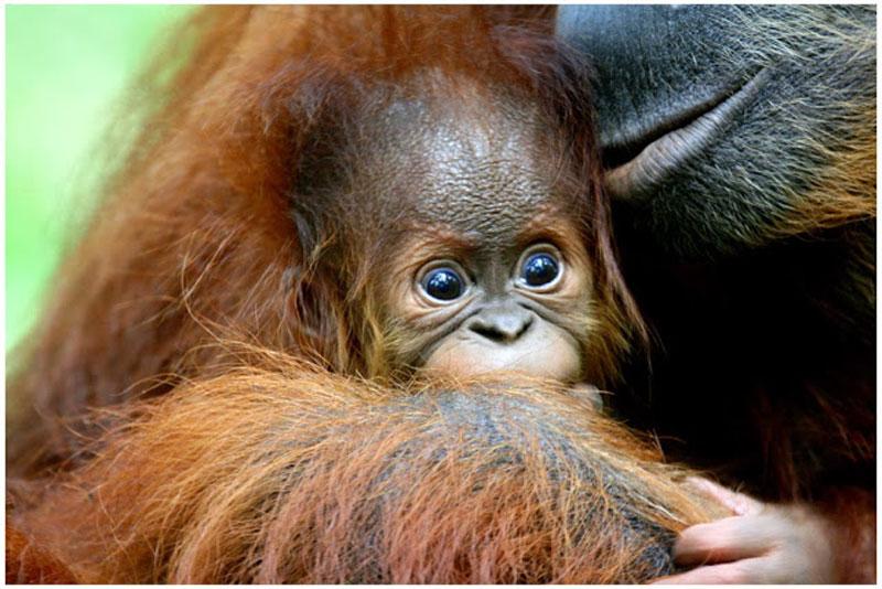 Orangutang5