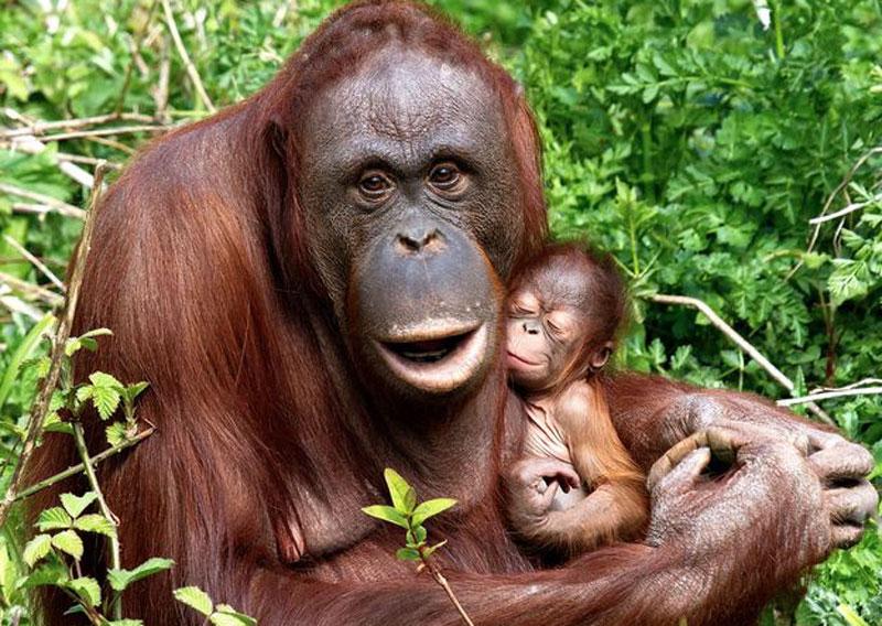 Orangutang6