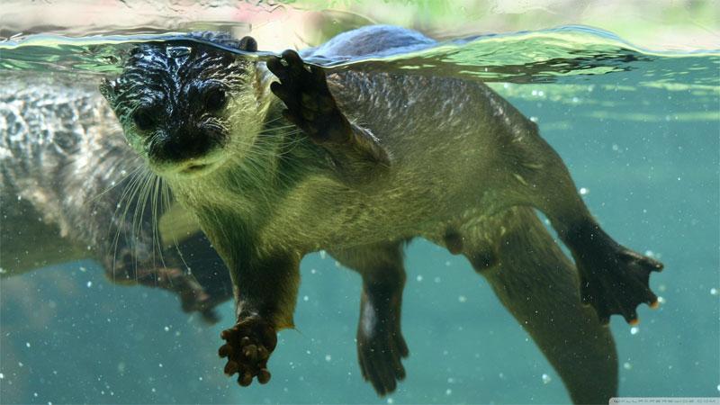 OtterUnderwater2