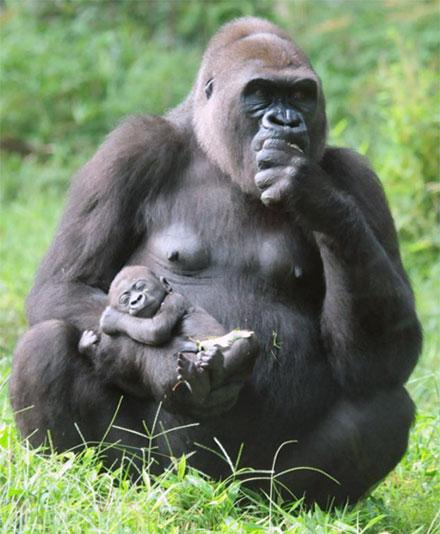 gorilla3a