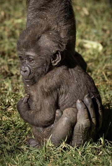gorilla3b