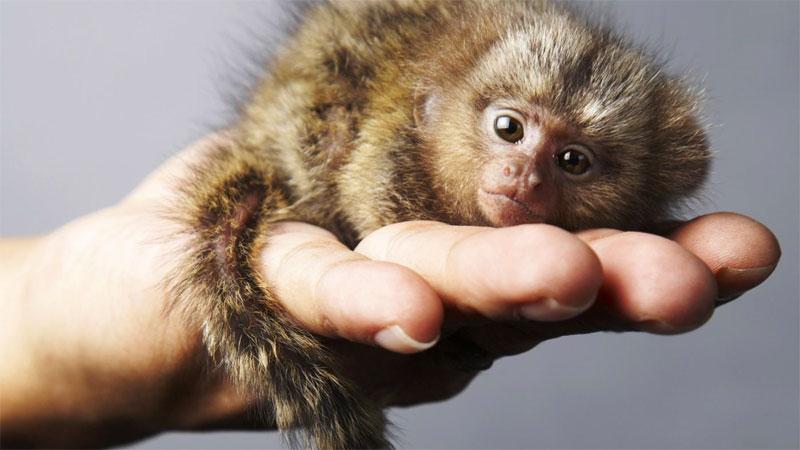 pygmy2