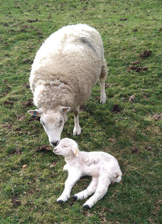 A new lamb and its mummy, Muker, Swaledale