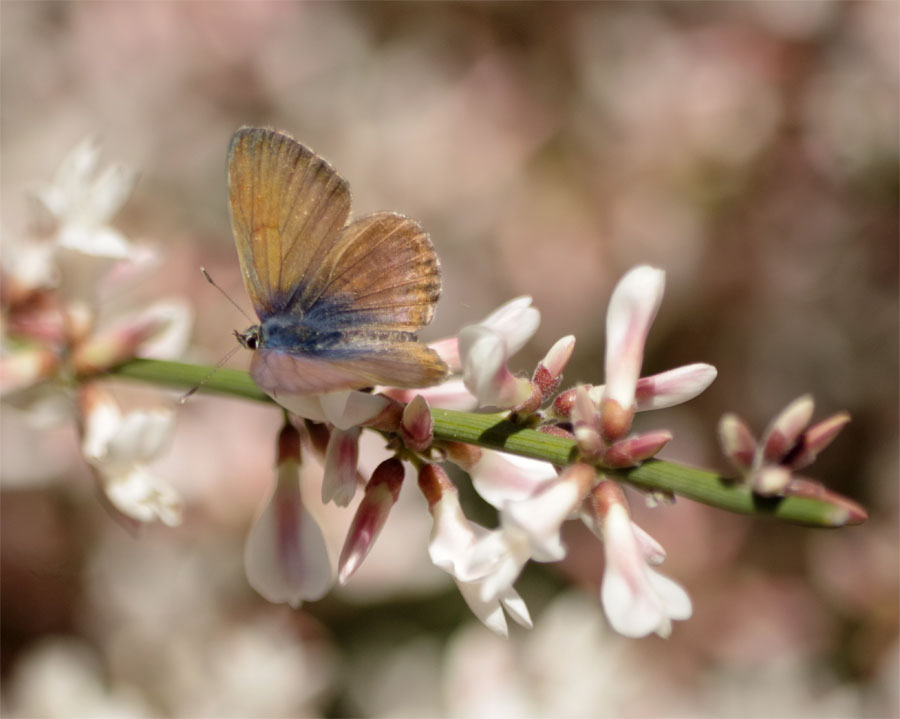 A butterfly on Spartocytisus supranubius on La Palma
