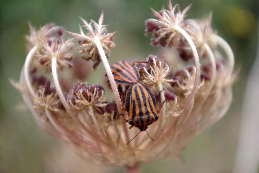 Mating Graphosoma interruptum (pyjama bug) on Daucus carota (wild carrot) Brena Baja, La Palma island