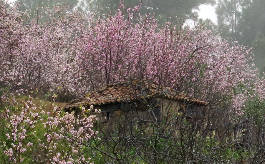 An old barn surrounded by almond blossom, Puntagorda, La Palma island
