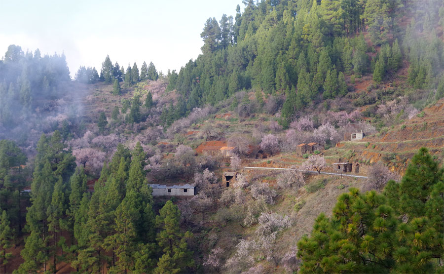 The Izcagua ravine, between Garafia and Puntagorda full of almond blossom, La Palma island